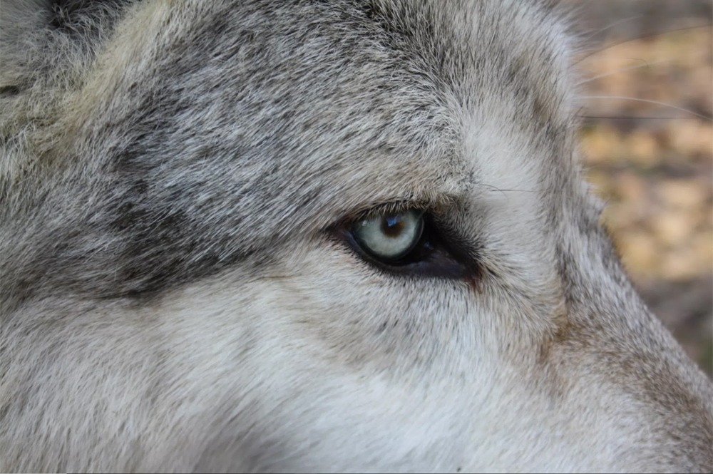 Read more about the article Wolf – Totem